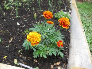 marigolds - Change Your Health Right In Your Back Yard